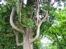 Érdekes fa a tatai Öreg-tó partján